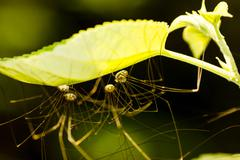 Huntsman Spiders Bathed In Green Light - stock photo