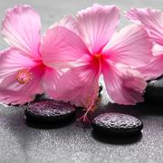 beautiful spa background of pink hibiscus flowers on zen basalt stone with dr - stock photo