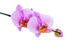 blooming beautiful twig of lilac spotted orchid, phalaenopsis is isolated on  - stock photo