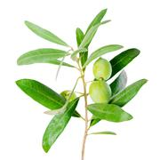 Stock Photo of silver green branch of olive tree with berries , isolated on white background