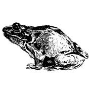 Frog hand drawn Piirros