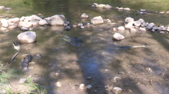 Fish lying dead in river  possible chemical spill and environmental disaster Stock Footage