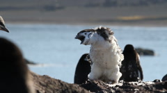 Chinstrap penguin - stock footage
