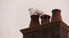 Cockatoos on chimney in Australia Stock Footage