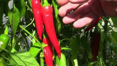 Human hand is picking red hot peppers Stock Footage