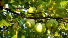 Green apple on the tree Stock Footage