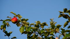 Red apple on the tree Stock Footage