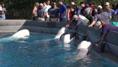 Public Feed The Beluga White Whales At Marineland Canada Stock Footage