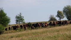 Herd of cows and flock of sheep Stock Footage