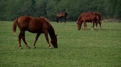 Herd of brown horses - stock footage