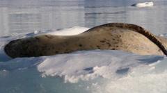 Leoprd Seal on Iceberg Stock Footage