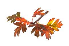 Autumn leaves on a white background. Stock Photos