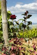 Rose bushes next to the vines in Tuscany, Italy Stock Photos