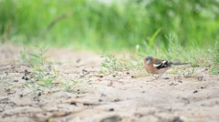 Male common chaffinch forages on sandy ground in summer Stock Footage