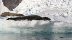 Leoprd Seals sleeping on Iceberg Stock Footage