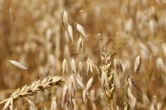 Ripe ears of oats - stock photo