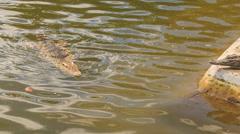 Crocodile swims in pond of crocodile farm Stock Footage