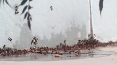 Closed shot of many ants in panic carrying his eggs Stock Footage