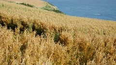 Wheat field close to the North Sea in Stonehaven Aberdeenshire, Scotland UK Stock Footage