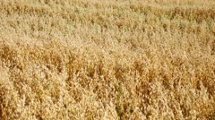Wheat field in Stonehaven Aberdeenshire, Scotland UK Stock Footage