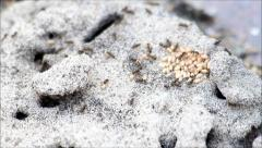 Hardworking ants carry their larvae to safety Stock Footage