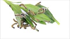 Buff tip timelapse caterpillar Phalera bucephala Stock Footage