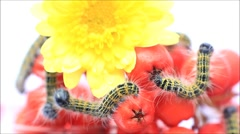 Buff tip caterpillar Phalera bucephala, macro Stock Footage