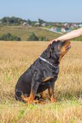 Rottweiler dog with mistress hand - stock photo