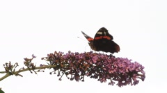 Butterfly Admiral  on purple flower lilac Stock Footage