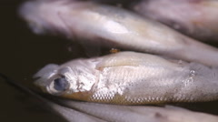 Dead fish belly up Stock Footage