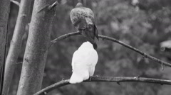 White dove on a branch cleans feathers Stock Footage