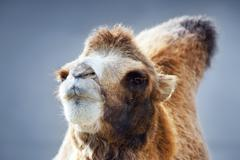 Closeup portrait of a camel female on blue sky background. Eye to eye contact Stock Photos