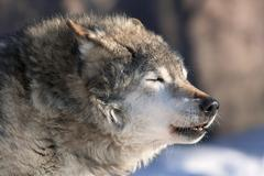 An old howling wolf male on cold air. Dangerous and severe shaggy beast of th Stock Photos