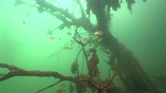 A flock of small fish swim around underwater branches of tree in slow motion Stock Footage