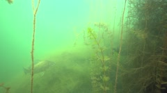 Large goldfish swims along the algae in the lake in slow motion Stock Footage