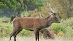 Red Deer stags hanging out in the autumn - stock footage
