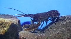 Lobster underwater Stock Footage