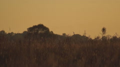 Meadow harrier on low-level flight Stock Footage