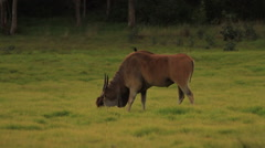 Eland Eating Green Grass then Looks at Camera Stock Footage