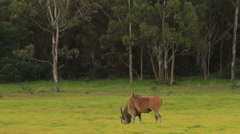 Eland eating then Looks at Camera WS Stock Footage