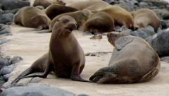 Galapagos sea lion, mother and baby sucking the milk Stock Footage