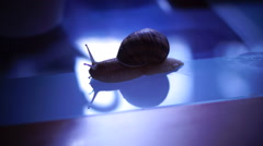 Snail on the coffee table, indigo shadows - stock footage