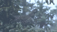 Spruce Grouse on Branch in Tree in Fog in Alaska Stock Footage
