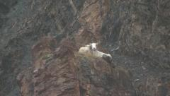 Zoom in on Dall Sheep on Cliff in Alaska Stock Footage