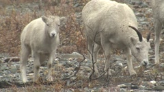 Dall Sheep Ewe and Lamb Grazing at Denali National Park - stock footage