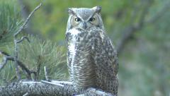Great-horned Owl Sleeping and Opening Eyes Stock Footage