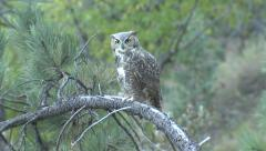 Great-horned Owl Turning Head Looking Toward Camera Stock Footage