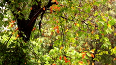 Early autumn rain with sound.Autumn leaves on a rainy day. Stock Footage