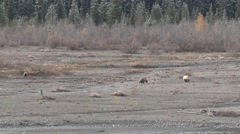 Grizzly Bear Sow and Cubs in River Gravel Bed Walking Stock Footage