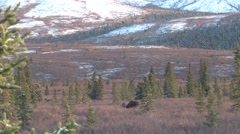 Bull Moose in Alaska Taiga Habitat in Alaska in Fall Stock Footage